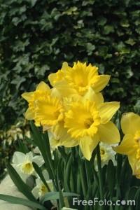 free_daffodils